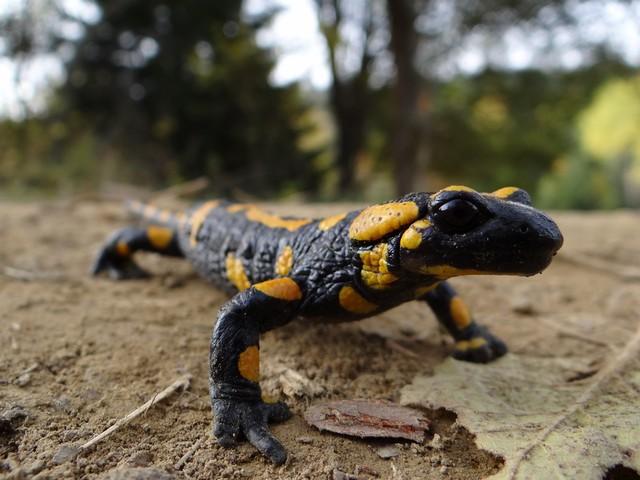 Magurski Park Narodowy - salamandra